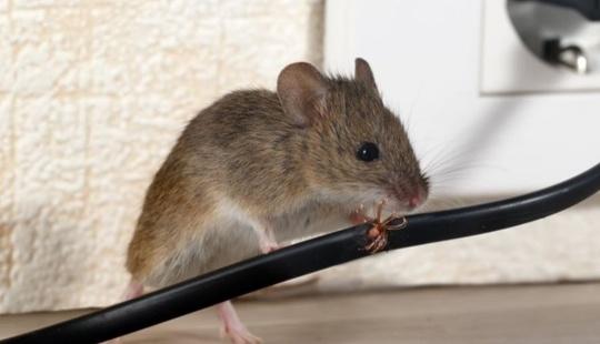 Hold mus og rotter borte i jula